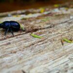 bousier des bois, scarabée bleu
